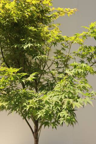 acer palmatum osakazuki for sale
