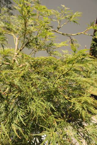 acer palmatum dissectum virdis