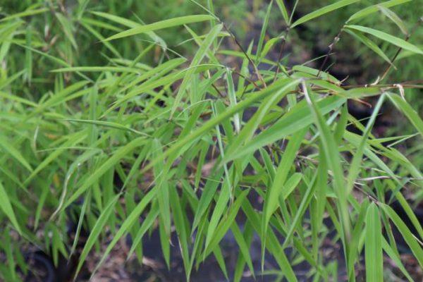 bambusa porcatus nepalese blue for sale