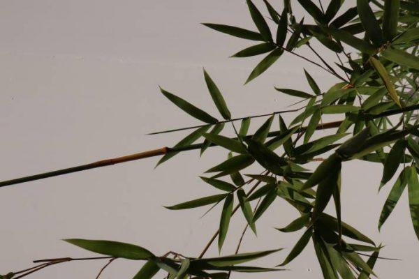 bambusa textilis gracillis online