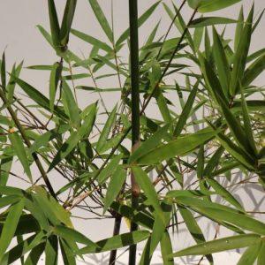 bambusa textilis gracillis