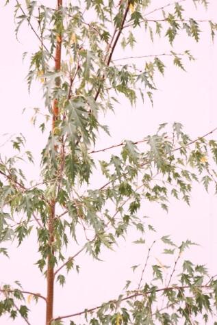 betula pendula dalecarlica online
