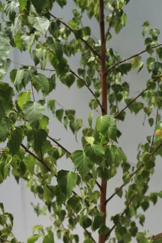 buy betula pendula alba