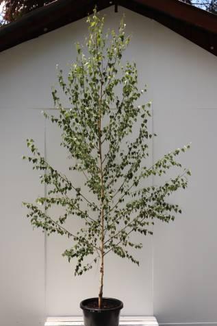 buy betula pendula moss white