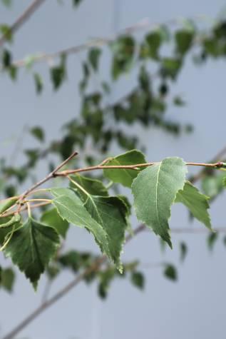 betula pendula moss white online