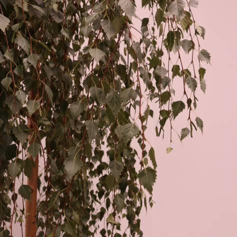 betula youngii for sale