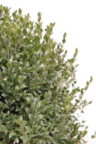buxus sempervirens for sale