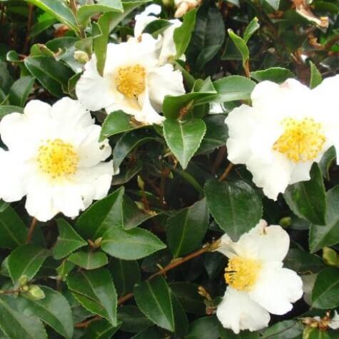 camellia sasanqua setsugekka online
