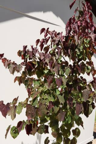 cercis chinensis forest pansy