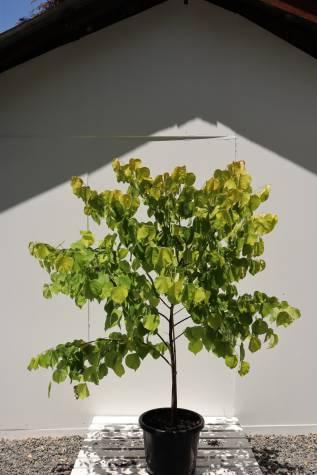 buy cercis chinensis avondale