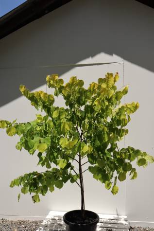Cercis chinensis avondale melbourne