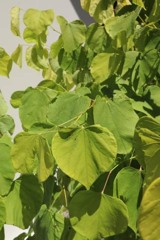 cercis chinensis avondale for sale
