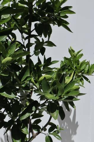 buy citrus aurantifolia tahitian lime online