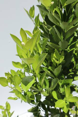 citrus japonica cumquat for sale