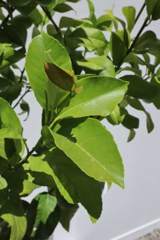 citrus limon eureka for sale