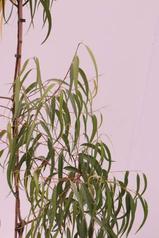 corymbia citriodora scentuous for sale
