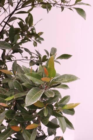 buy elaeocarpus reticulatus prima donna
