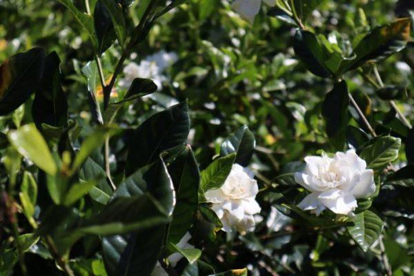 buy bardenia augusta florida online