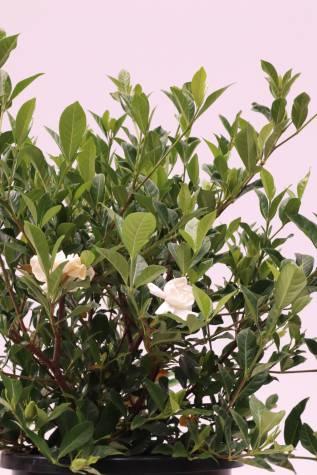 gardenia augusta florida