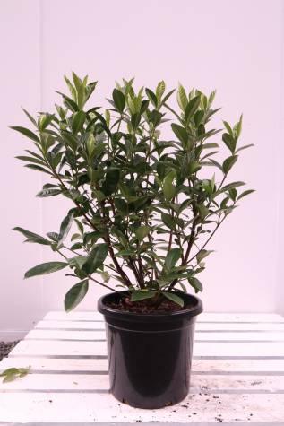 Buy gardenia augusta magnifica melbourne