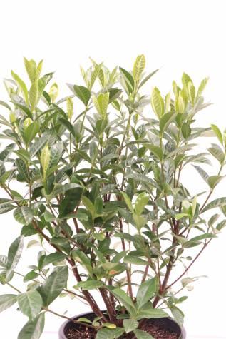 buy gardenia augusta magnifica australia