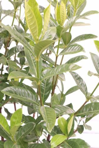 gardenia augusta magnifica australia