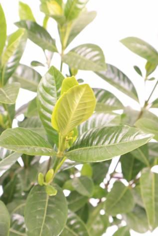 gardenia agusta magnifica
