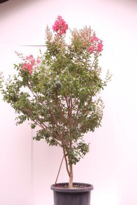 tuscarora tree