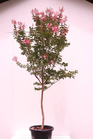 lagerstroemia indica sioux online