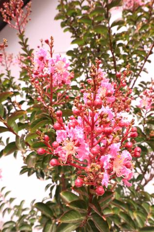 Lagerstroemia Indica Sioux