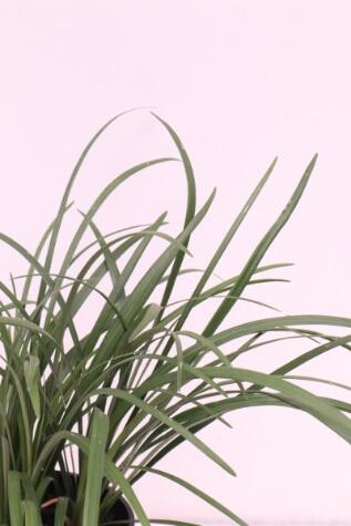 liriope muscari evergreen giant online