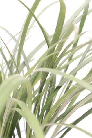 liriope muscari evergreen giant melbourne
