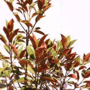 magnolia exmoth