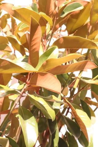 magnolia st. marys
