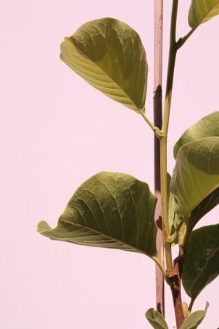 buy magnolia denudata online