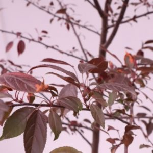 malus royal raindrops for sale