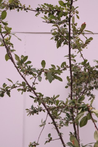 malus floribunda for sale
