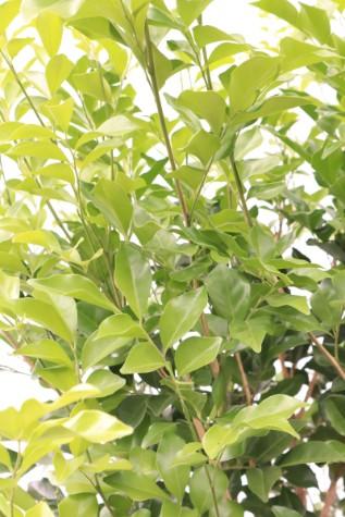 murraya paniculata orange jessamine