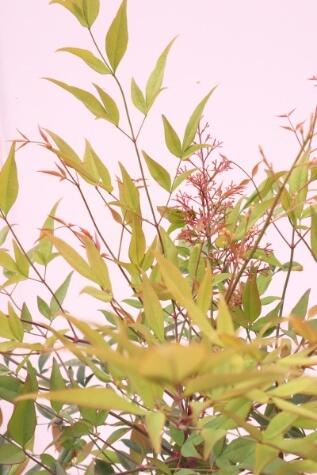 nandina domestica tree
