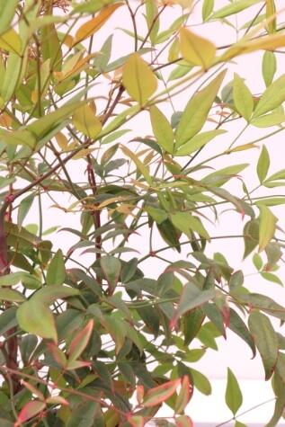 nandina domestica sacred bamboo