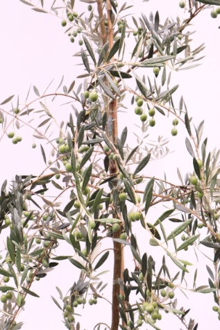 olea manzanillo plant