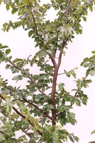 parrotia persian witch hazel