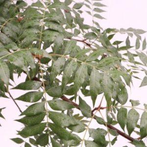 pistachia chinensis