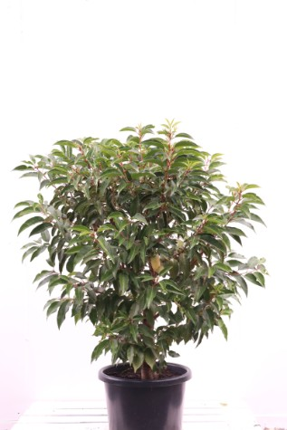 prunus lusitanica for sale