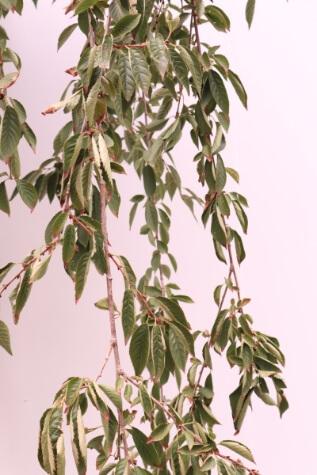 prunus pendula snofozam for sale