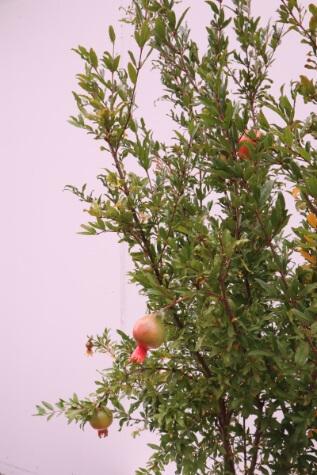 pomegranate punica granathum mollar de elche