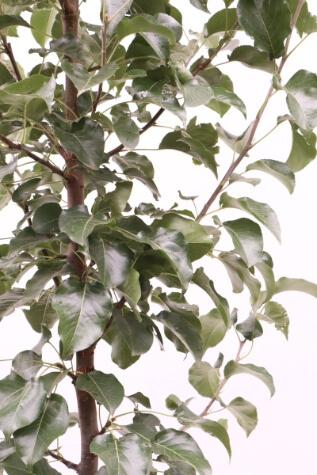 pyrus calleryana captial melbourne