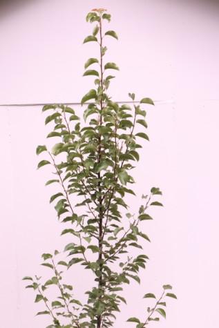 pyrus calleryana chanticleer melbourne