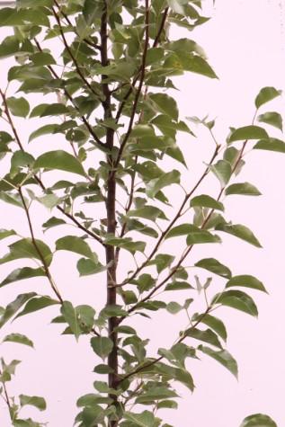 buy pyrus calleryana chanticleer online