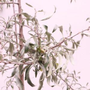 pyrus salicfolia